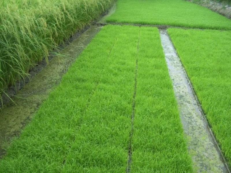 امحای خزانه برنج در شهرستان صحنه